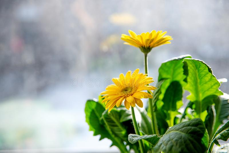 Beautiful yellow daisy gerbera flowers on the window Spring and summer mood royalty free stock image