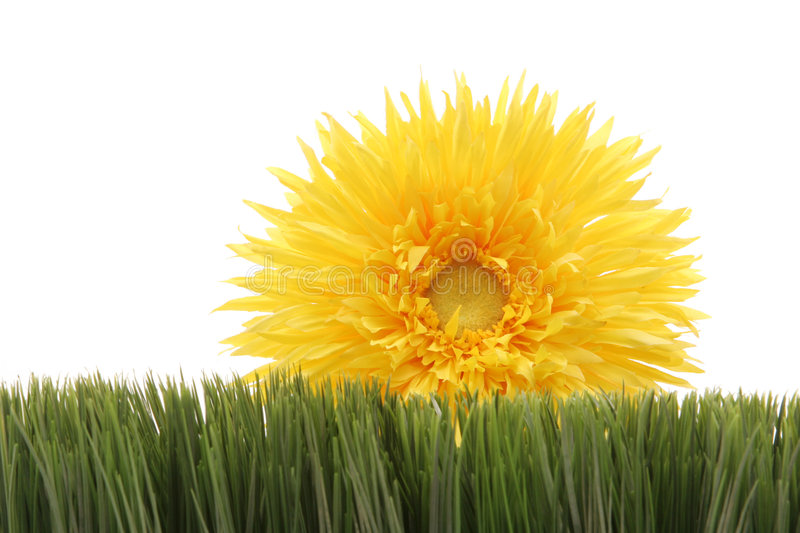 Download Beautiful Yellow Daisy On Green Grass Isolated On White Background Stock Image - Image: 1962595