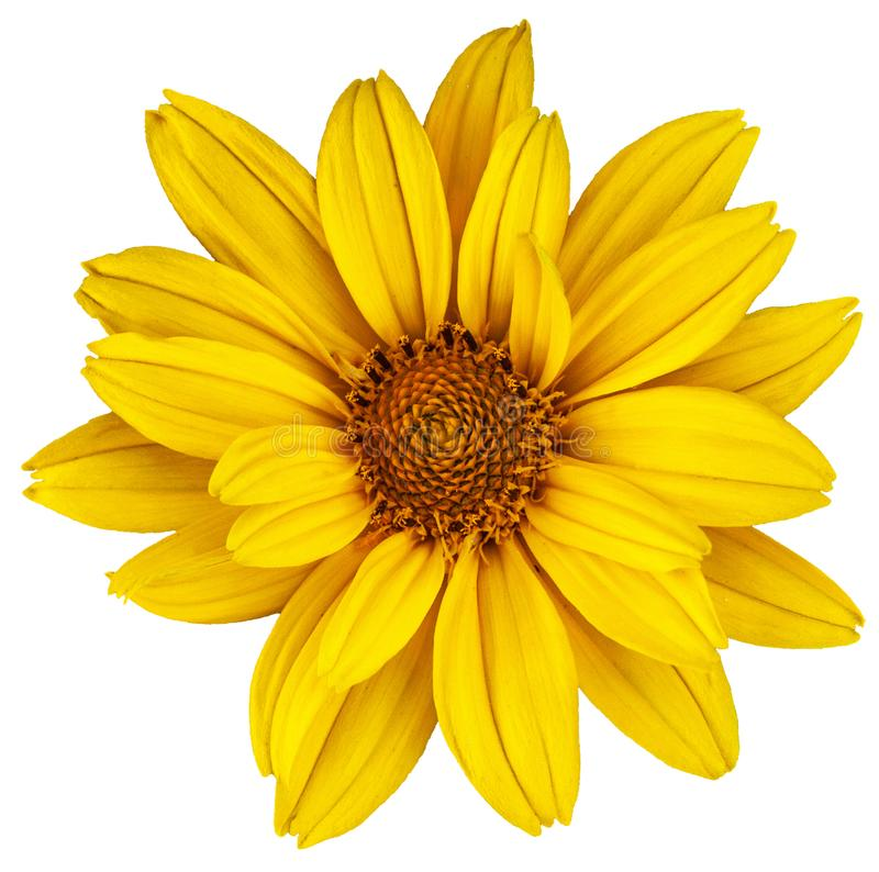 Beautiful yellow daisy. The Latin name is Heliopsis. Isolated image on white stock image