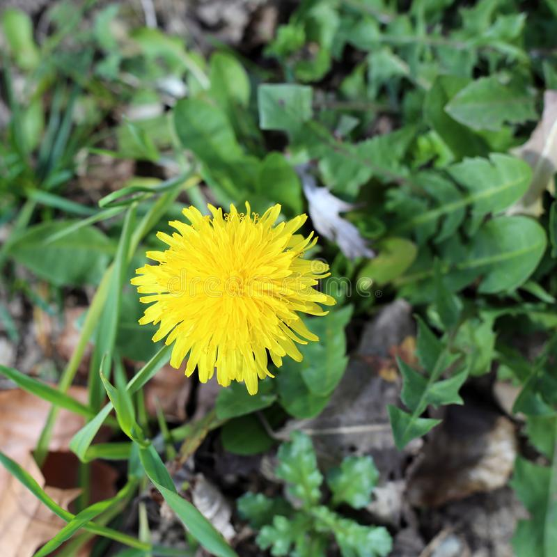 Beautiful Yellow Dandelion on a Green Meadow. One blooming dandelion in a green meadow. Closeup photo. The flower has love deep yellow color and is surrounded by stock images