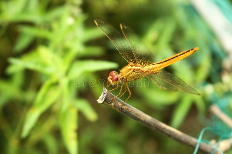 A beautiful Yellow Dragonfly in a green garden stock photo