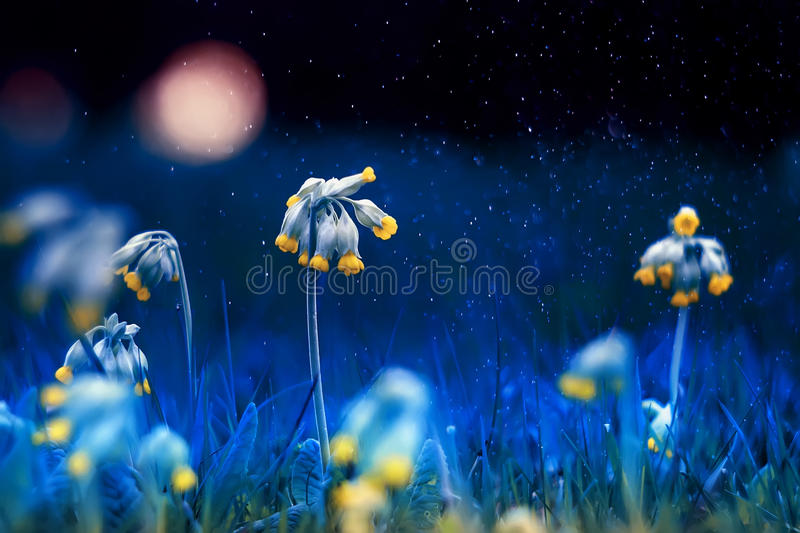 Beautiful yellow early spring flowers on the night royalty free stock photos