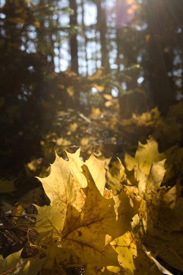 Beautiful yellow fallen autumn maple leaves in sunlight. autumn forest. autumn natural landscape stock photos