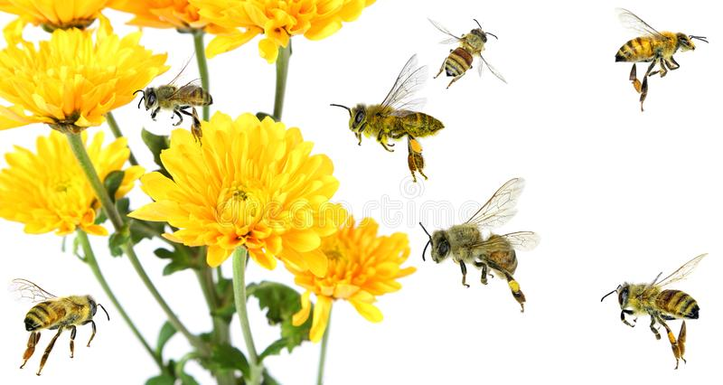 Beautiful yellow flower of Aster and honey bees flying. Polination. Beautiful yellow flower of Aster and honey bees flying around. Isolated on a white background stock photos