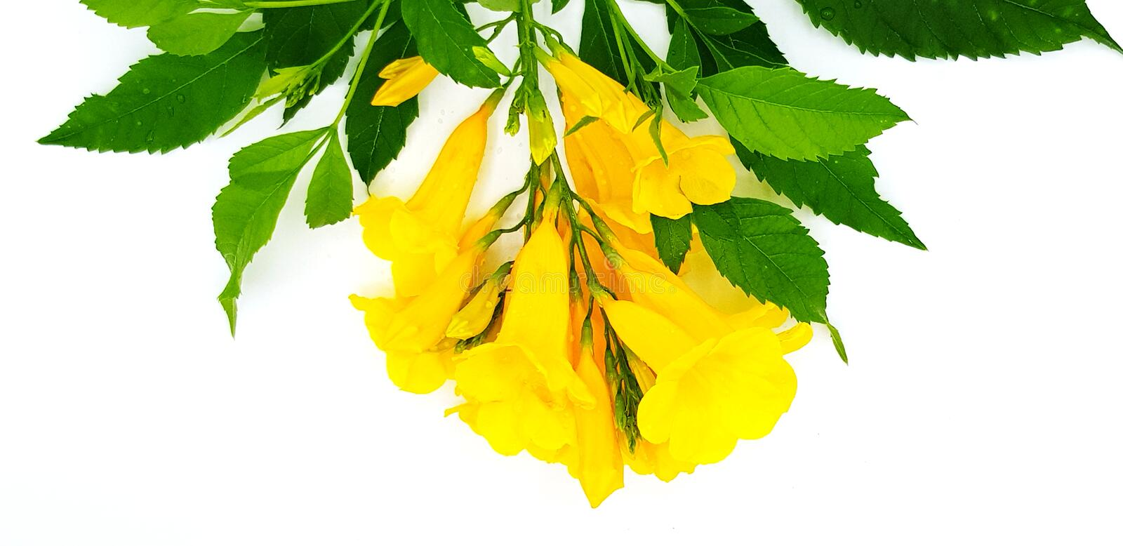 Beautiful Yellow flower bouquet Yellow elder, Trumpetbush, Trumpetflower with green leaves isolated on white background royalty free stock photo