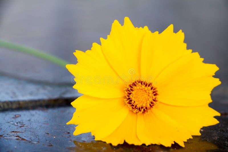 Beautiful yellow flower called cosmos sulphureus stock image download beautiful yellow flower called cosmos sulphureus stock image image of bloom fresh mightylinksfo
