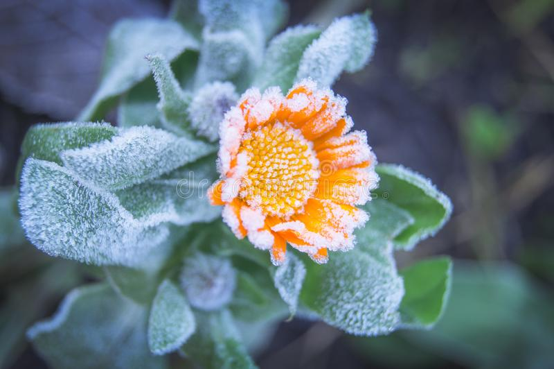 Beautiful yellow flower covered with frost from the first autumn frosts royalty free stock image