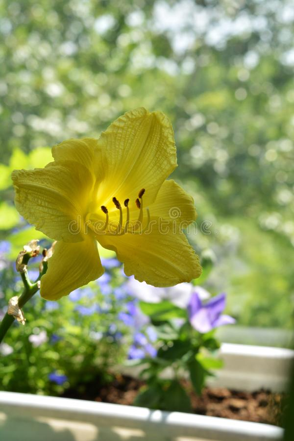 Beautiful yellow flower of daylily. Balcony greening with decorative plants.  stock image