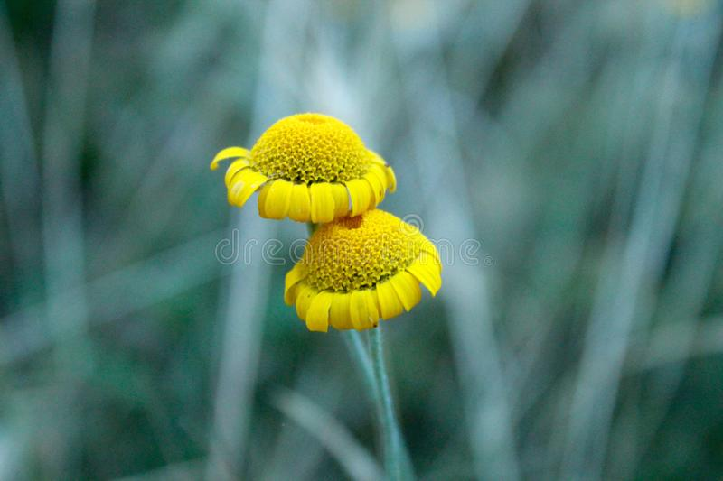 The beautiful yellow flower in the field. This photo is made in a field near Greve in Chianti, Tuscany, Italy royalty free stock photos