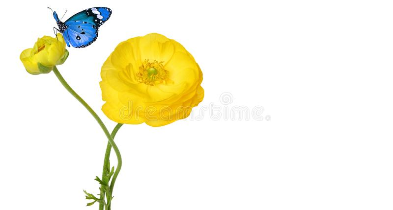 Beautiful yellow flower of a Garden Buttercup and blue butterfly. Beautiful yellow flower of a Garden Buttercup  Ranuculus asiaticus and blue butterfly royalty free stock photo