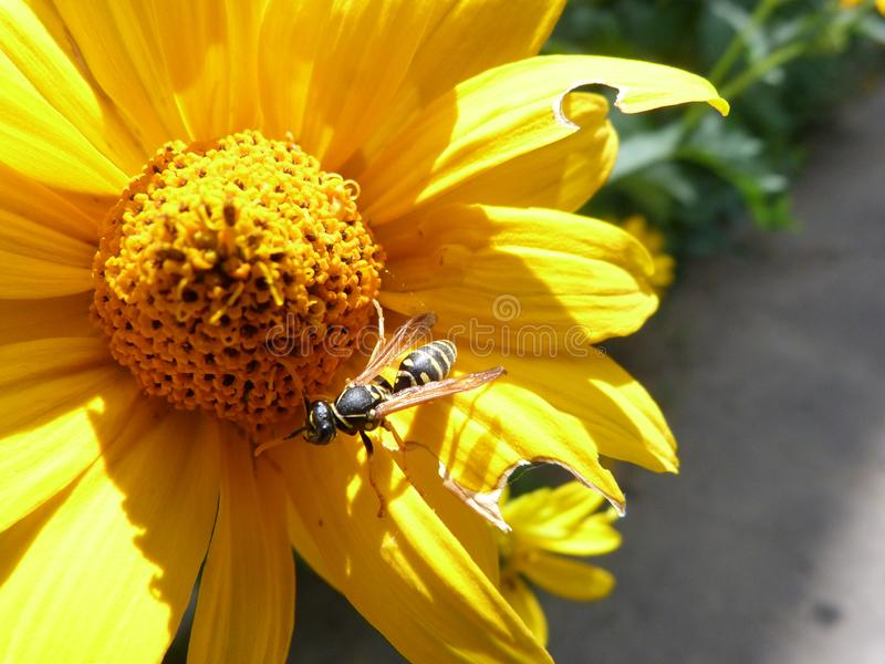 Beautiful yellow flower with a little bee. Beautiful picture with yellow flower and a little bee. Positive vibe with a sunny day stock images