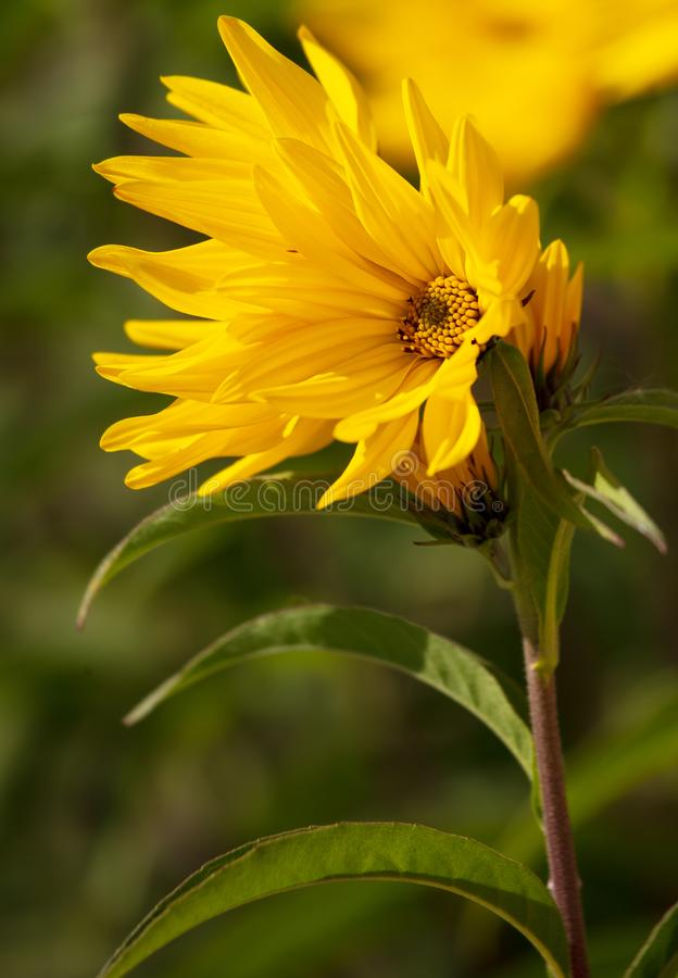 Beautiful yellow flower in the park royalty free stock images