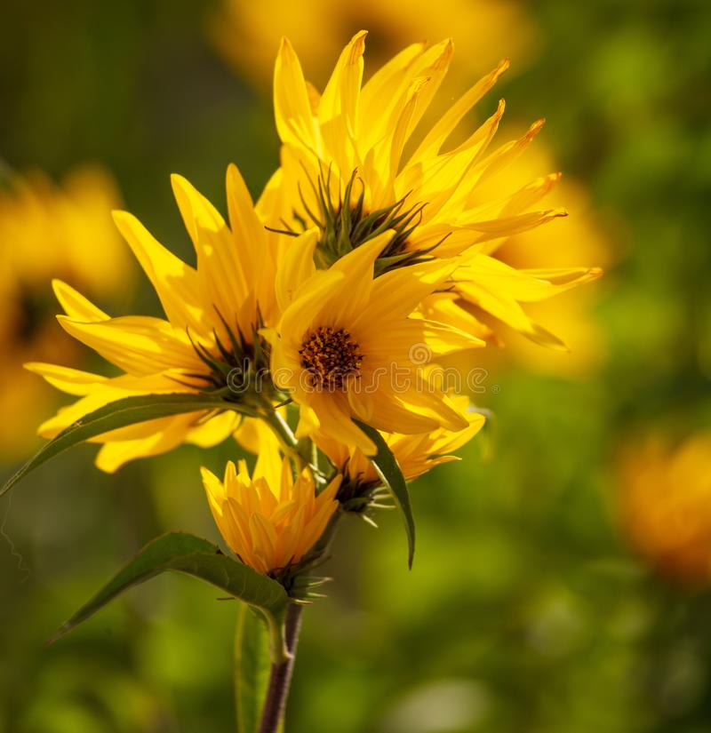 Beautiful yellow flower in the park royalty free stock image