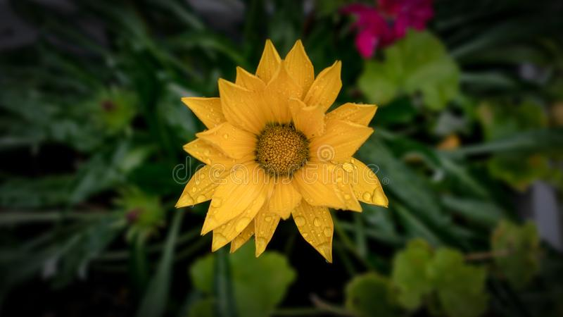 Beautiful Yellow Flower After the Rain stock image