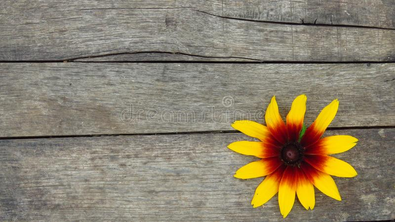 Rudbeckia hirta. Gazania. Isolated Black-eyed Susan. Beautiful Yellow Flower on Wooden Background. stock photography