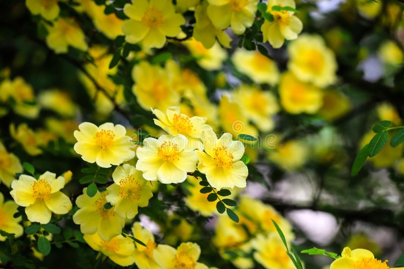 Beautiful yellow flowers bloomed on the branches of the bush in spring. Blooming tree in summer in the garden royalty free stock image