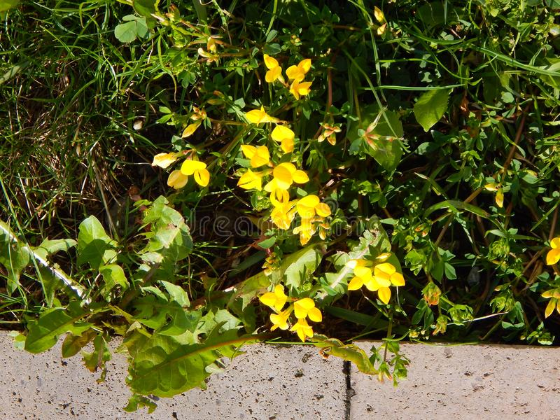 Beautiful yellow flowers blooming outdoors with green grass royalty free stock photo