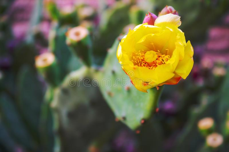 Beautiful yellow flowers of a spiny cactus royalty free stock photos
