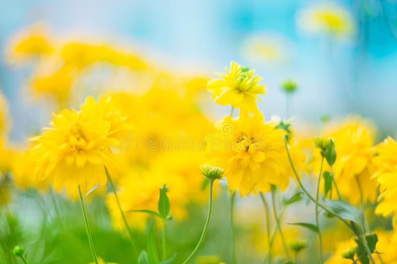 Beautiful yellow flowers with a very soft focus on the background of the cyan sky. Artistic image, natural floral background with royalty free stock image