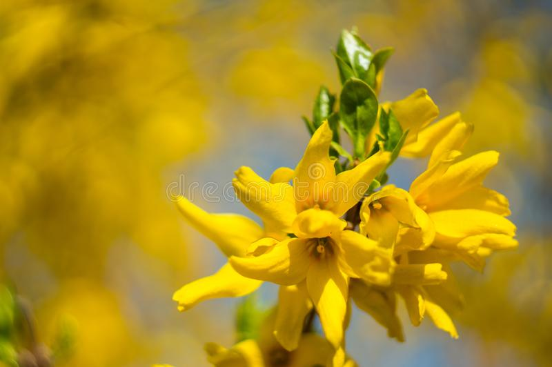 Beautiful yellow forsythia flowers forsythia x intermedia, europaea close-up on a blurred background. Copy space.Spring. Soft stock images