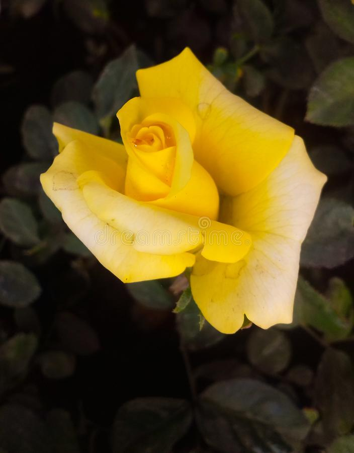 Beautiful yellow and fresh rose with water drops royalty free stock image