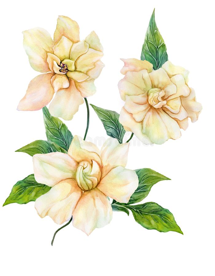 Beautiful yellow gardenia cape jasmine flower on a twig with green leaves. Tropical flower isolated on white background. Watercolor painting. Hand painted vector illustration