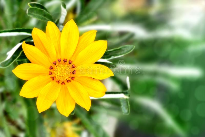 A Beautiful Yellow Gazania Flower in Blurred Green Background royalty free stock photo