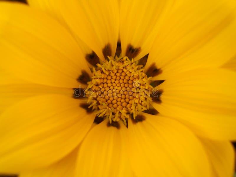 Beautiful Yellow Gazania Flower Detail stock photos
