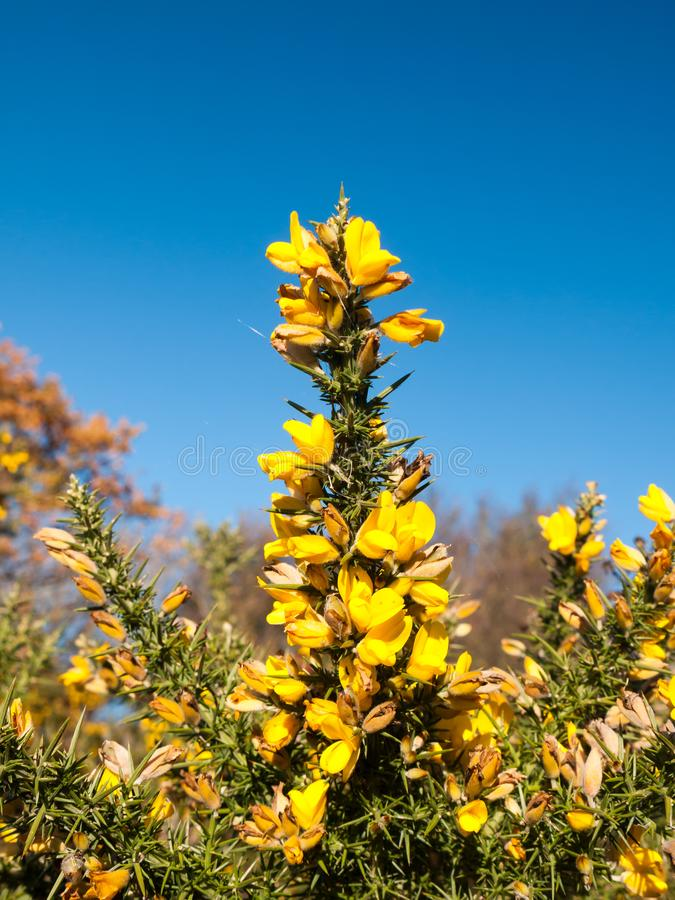 Beautiful yellow gorse flowering plant spiky autumn tree backgro download beautiful yellow gorse flowering plant spiky autumn tree backgro stock photo image of europaeus mightylinksfo