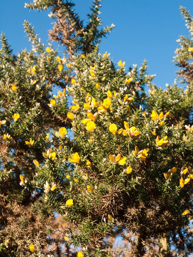 Beautiful yellow gorse flowering plant spiky autumn tree backgro download beautiful yellow gorse flowering plant spiky autumn tree backgro stock photo image of evergreen mightylinksfo