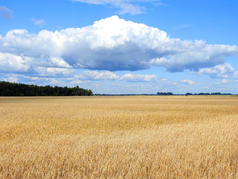 Golden grain and cloudy sky, Lithuania stock image