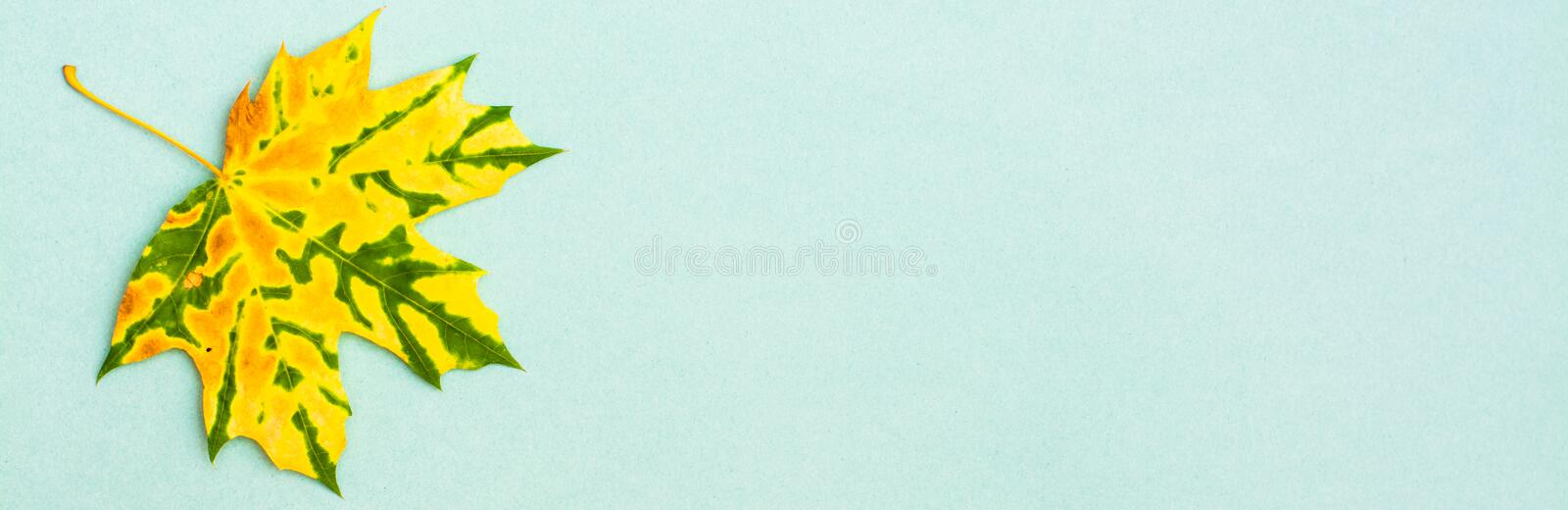 A beautiful yellow-green mottled fallen maple leaf. On a cardboard background. Copy space. Web banner royalty free stock photo