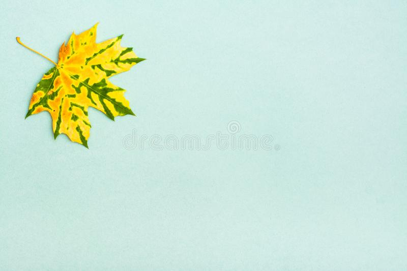 A beautiful yellow-green mottled fallen maple leaf. On a cardboard background. Copy space stock photos