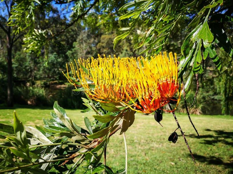 A Beautiful yellow Grevillea robusta flower Silky Oak in a spring season at South Australia botanical garden. stock photo