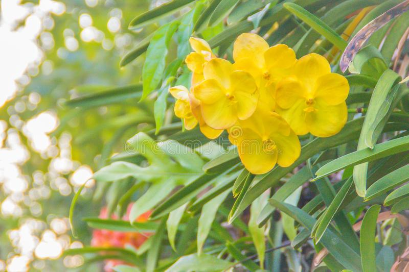 Beautiful yellow hybrid vanda orchid flower with green leaves background. Vanda is a genus in the orchid family, Orchidaceae. stock image