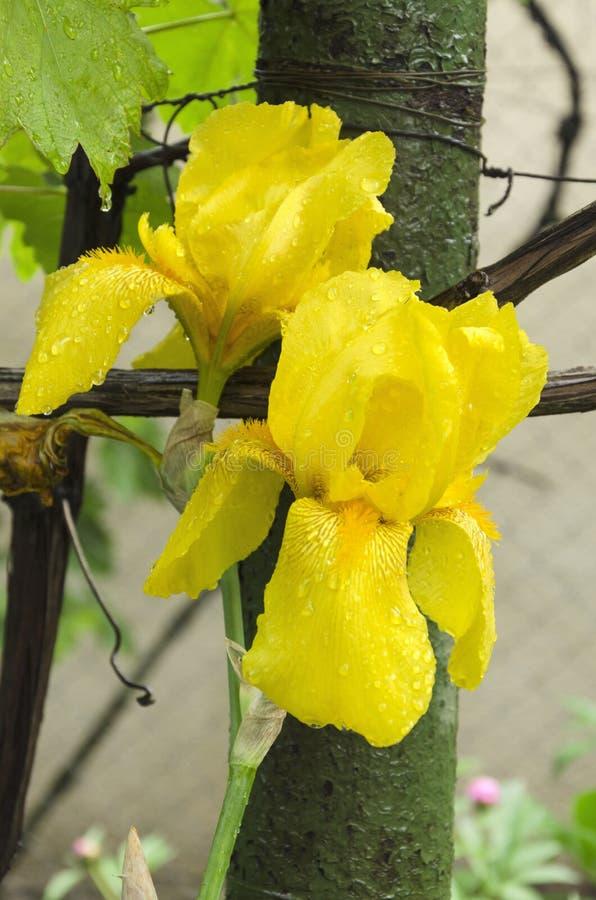Beautiful yellow iris in the garden.Vertical shot of fresh flower on a rainy day stock photo