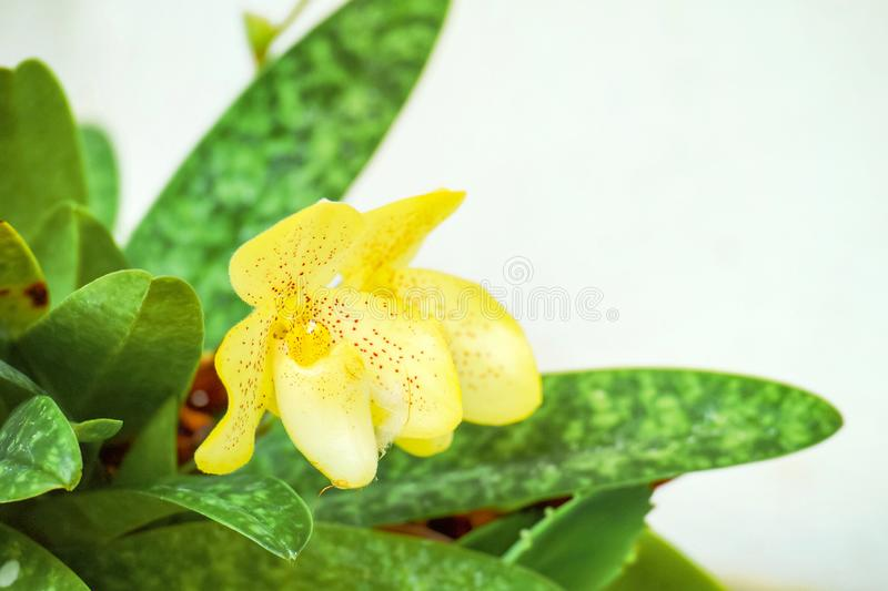 Beautiful of Yellow Lady`s slipper orchid Paphiopedilum concolor Lindl. ex Bateman Pfitzer is blooming stock image