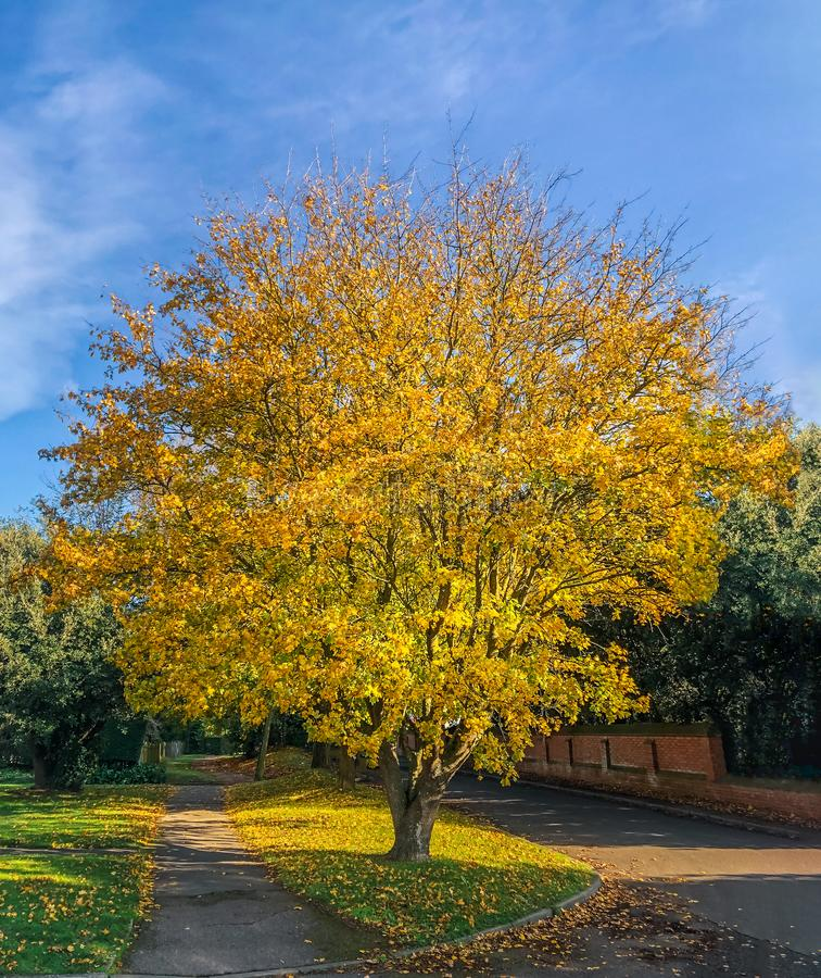 Beautiful yellow leaf autumanl tree in  illuminated by a band of winter sunshine stock images