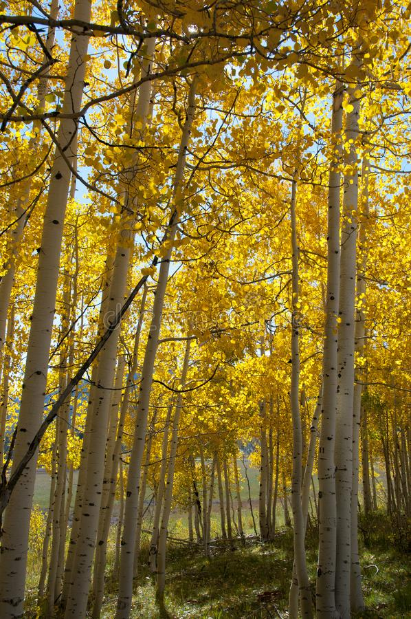 Fall Foliage on Yellow Aspen Trees showing off their Autumn Colors. Beautiful yellow leaves on aspen trees in Utah in the fall showing off their autumn colors royalty free stock photos