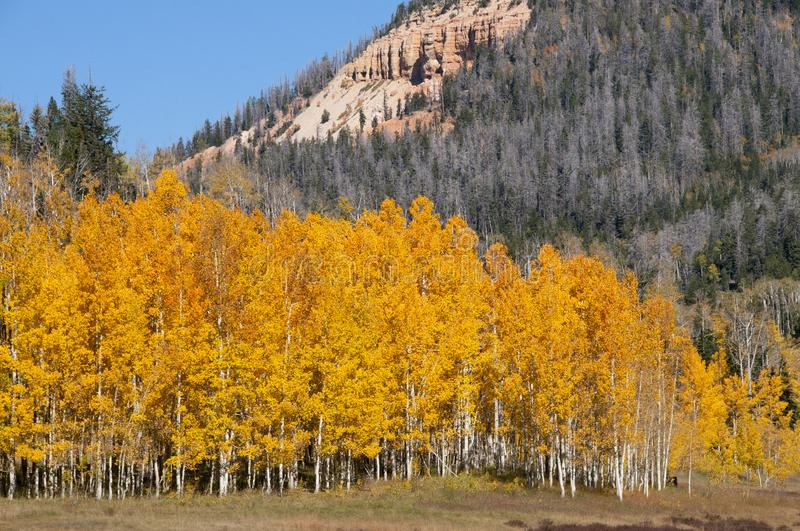 Fall Foliage on Yellow Aspen Trees showing off their Autumn Colors. Beautiful yellow leaves on aspen trees in Utah in the fall showing off their autumn colors stock photos
