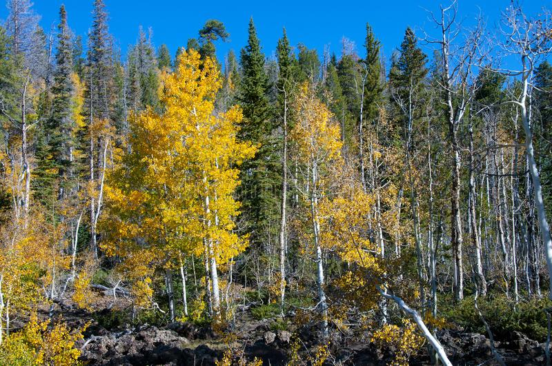 Fall Foliage on Yellow Aspen Trees showing off their Autumn Colors. Beautiful yellow leaves on aspen trees in Utah in the fall showing off their autumn colors royalty free stock photography