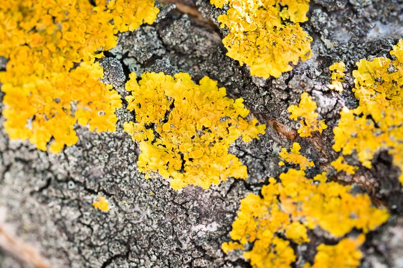 A lot of yellow lichen on a tree. Beautiful yellow lichen grows on the trunk of a tree royalty free stock photos