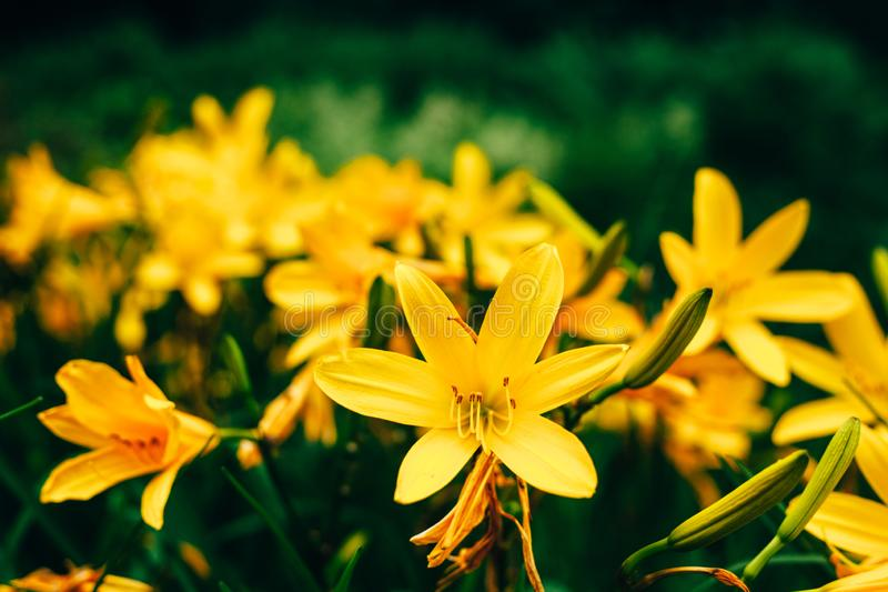 Beautiful yellow Lilium flowers against fresh green leaves background royalty free stock photography