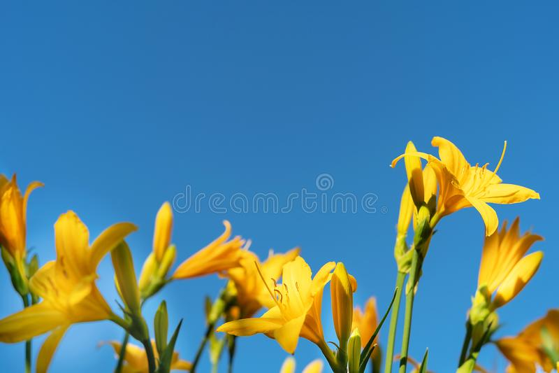 Beautiful yellow lily hemerocallis blossoms in evening sunset light of summer garden against blue sky. Beautiful yellow lily hemerocallis blossoms in warm stock photos