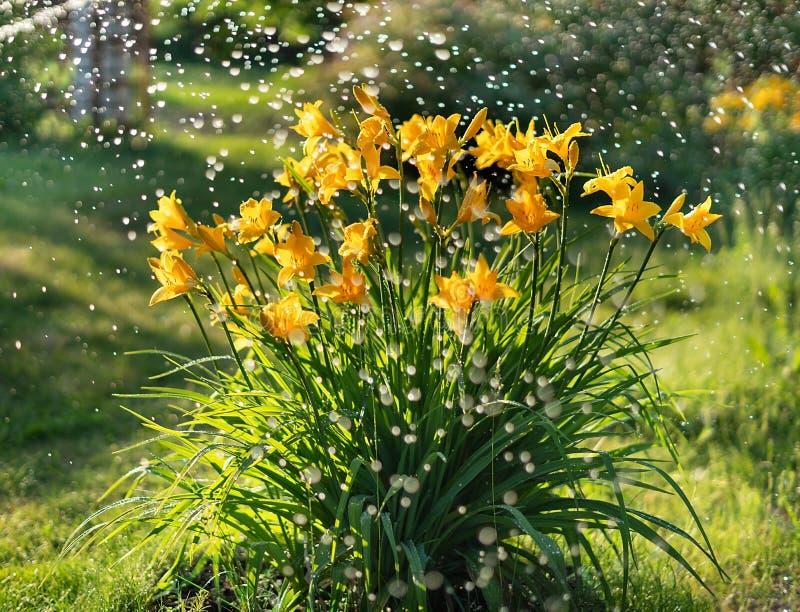 Beautiful yellow lily hemerocallis blossoms in evening sunset light of summer garden under the rain. Sunlight reflecting. Beautiful yellow lily hemerocallis stock image
