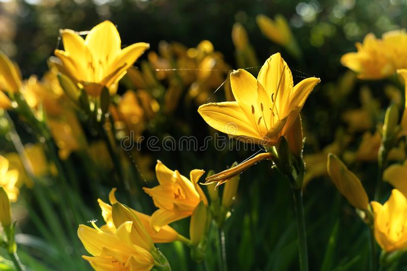 Beautiful yellow lily hemerocallis blossoms in evening sunset light of summer garden. Beautiful yellow lily hemerocallis blossoms in warm evening sunset light stock photo