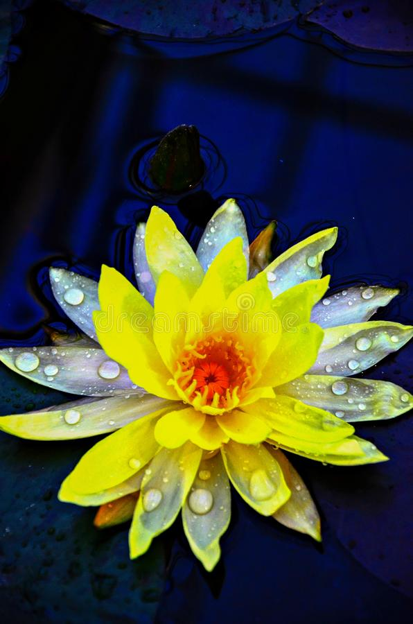 Beautiful Yellow Lotus with drop water royalty free stock photography