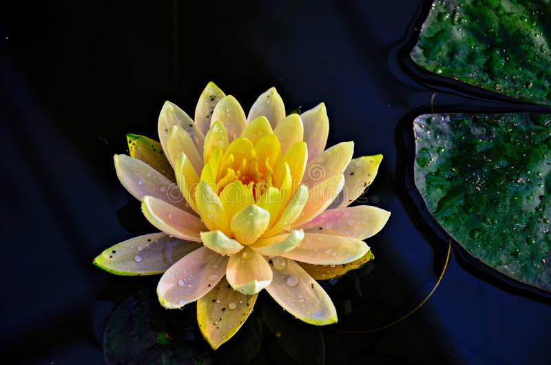 Beautiful Yellow Lotus with drop water on dark background. Aquatic, beauty, bloom, blooming, blossom, botany, botanical, closeup, flora, flower, garden, green royalty free stock image