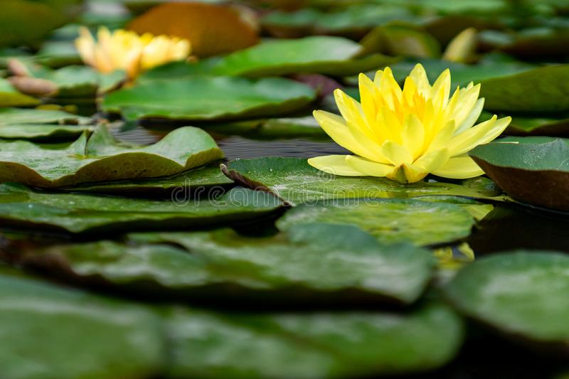 Beautiful yellow lotus flower in the pond full of green leaves stock photo