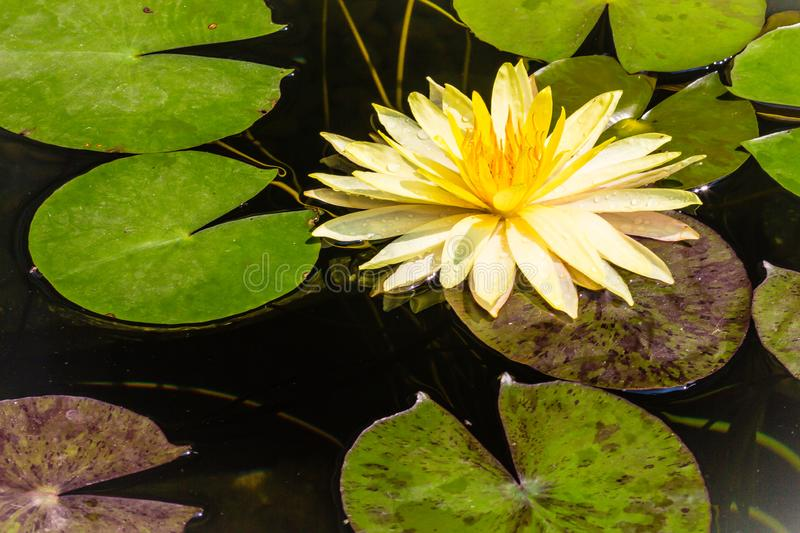 Beautiful yellow lotus with green leaves in swamp pond. Peaceful yellow water lily flowers and green leaves on the pond surface. royalty free stock photos